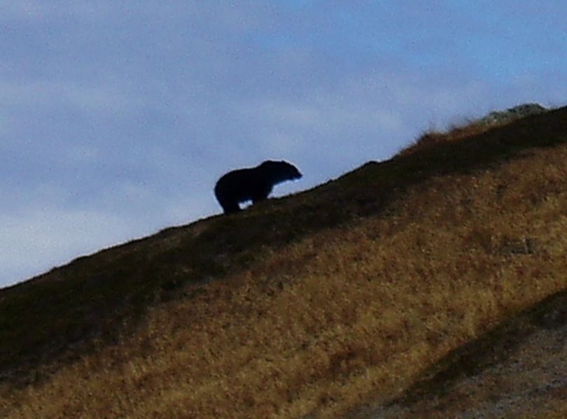 A team of government and independent grizzly bear experts affirmed that this bear photographed in North Cascades National Park in October 2010 was a grizzly bear.   (Joe Sebille)