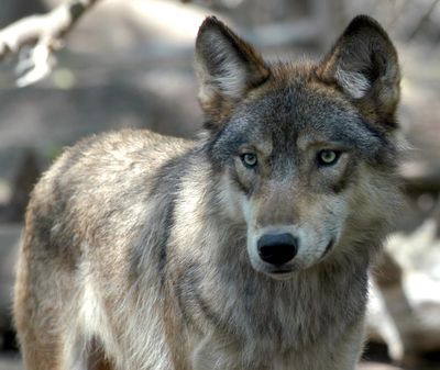 As gray wolves trickle into Washington and form packs, state wildlife officials are working on a plan to cope with the toll they take on wildlife and public tolerance. (File Associated Press / The Spokesman-Review)