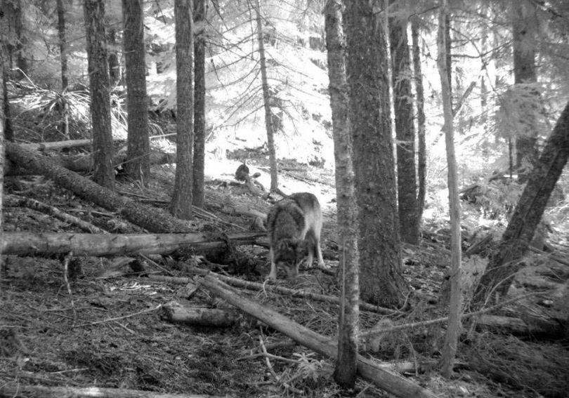 This Nov. 14, 2011 photo from a trail camera appears to show OR-7, the young male wolf that has wandered hundreds of miles across Oregon and Northern California looking for a mate and a new home. The Oregon Department of Fish and Wildlife says the photo likely shows OR-7, because a collar is visible on the neck, and GPS tracking data put him in the area where the camera was set on that date. Oregon's famous wandering wolf seems to be staying out of trouble after settling for now in the southern Cascades, but there are no signs he has found a mate yet.  (Associated Press)
