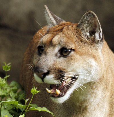 A 13-year-old cougar  opens her mouth and makes a chirping sound to call her mate Sept. 8, 2010, at the Oregon Zoo in Portland, Ore. (Don Ryan / ASSOCIATED PRESS)