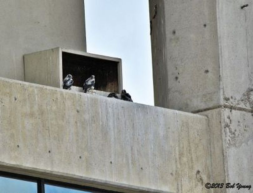 Peregrine falcon family at nesting box atop a downtown Boise skyscraper in spring of 2013 (Bob Young)